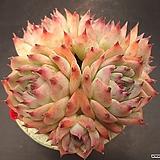 콜로라타 6두|Echeveria colorata