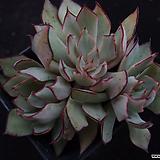 스트릭트플로라5 Echeveria strictiflora v nova
