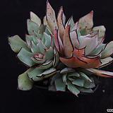 스트릭트플로라6 Echeveria strictiflora v nova