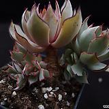 스트릭트플로라4 Echeveria strictiflora v nova