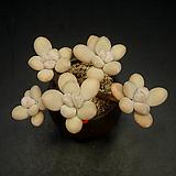 성미인 5두|Pachyphytum oviferum