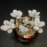염미인 6두|Pachyphytum oviferum