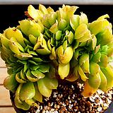 에오니움철화|Aeonium canariense