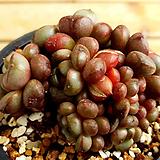 홍포도|Graptoveria Ametum