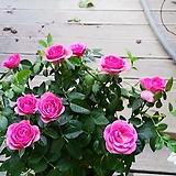 분홍장미 공기정화|