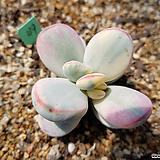 대형종 방울복랑금49(최상급 자구5내외) Cotyledon orbiculata cv variegated