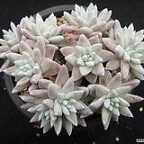 화이트그리니 0420|Dudleya White gnoma(White greenii / White sprite)