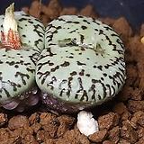 Conophytum obcordellum ssp( 15립)|
