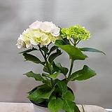 수국2대.|Hydrangea macrophylla