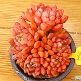 목대 핑클루비|Sedeveria pink rubby