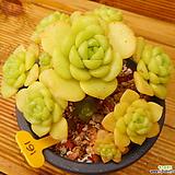 릴리패드 자연군생|Aeonium LilyPad