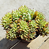 골드동운철화 01.59 0420|Echeveria agavoides f.cristata Echeveria