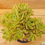 에오니움 퍼프|Aeonium canariense