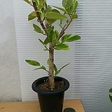 뱅갈고무나무/높이72센치 Ficus elastica