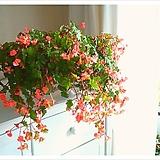 핑크샤워베고니아 (풍성수형 중품)|Begonia