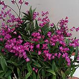 긴기아난.진핑크(아주좋은향).여성스러운색.꽃피었던상품.잎도까끔함.가격대비물건좋음.|