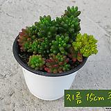 홍옥(Sedum rubroinctum) 지름 15cm 중품 다육화분|