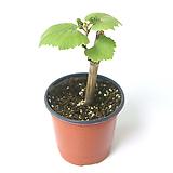 포도나무 과실수 유실수 묘목 열매나무 월동 