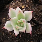 치와와복륜금 2114|Eeveria chihuahuaensis