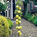 골든벨 기둥사과 화분상품♥왜성 미니사과♥사과나무♥미니 사과 애기사과|