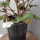 가고소앵초,흰색