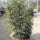 오죽대나무-모찌구미-큰포기단품|