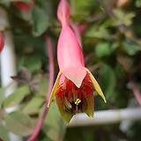 페트올륨 구근식물이면서...덩굴성으로 자라며 이쁜꽃이 가득하죠.|