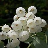 ♣ 은방울꽃나무(은방울나무) 국내재배생산품으로 안전하게 키우실수 있죠.|