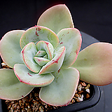 레몬앤라임 4-854|Echeveria Lemon and Lime