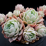 크림베리 4-863|Echeveria cream berry