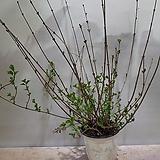 미스김라일락|Echeveria cv Peale von Nurnberg