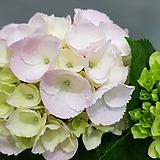 수국  핑크수국|Hydrangea macrophylla