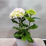 수국  히미꼬수국   노지월동가능|Hydrangea macrophylla