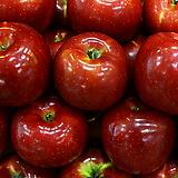 추억의 홍옥 화분상품♥자가수정 왜성 사과나무♥왜성사과♥결실주 큰나무 추가|