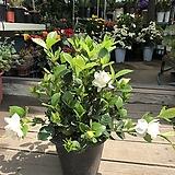 꽃치자나무_하얀꽃의 향기가 너무 좋아요 :)|