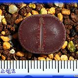 리톱스 Lithops aucampiae Chocolate Puddle 초콜릿 퍼들|Lithops