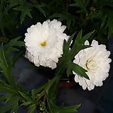 겹 목마가렛 [화이트 ] Echeveria halbingeri