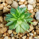 무늬바위솔 희귀종|
