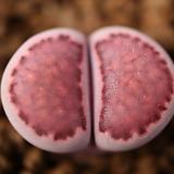 julii 국장옥 × salicola bacchus 교배종 씨앗(10립)