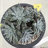 다육이/두들레야/화이트그리니/군생/H38|Dudleya White gnoma(White greenii / White sprite)