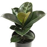 소피아고무나무(중품) Ficus elastica