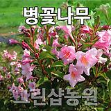 병꽃묘목 병꽃나무 병꽃 개화주(5주 묶음)|