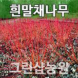 흰말채묘목 흰말채나무 흰말채 H0.6전후|