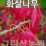 화살나무묘목 꽃나무 화살나무 H0.6~0.8|