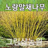 노랑말채묘목 노랑말채나무 노랑말채 H0.6 전후|