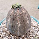 오베사 왕대품|Baseball Plant (Euphorbia obesa)