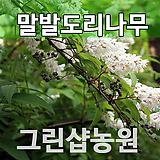 말발도리묘목나무 말발도리나무 말발도리 개화주(5주 묶음)|