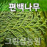 편백나무묘목 편백나무 편백 H1.0~1.2|