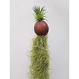 수염틸란드시아 이오난사 코코넛 행잉플랜트 초미세먼지|Tillandsia