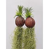 (2개세트) 코코넛 수염틸란드시아 행잉플랜트 초미세먼지 이오난사|Tillandsia
